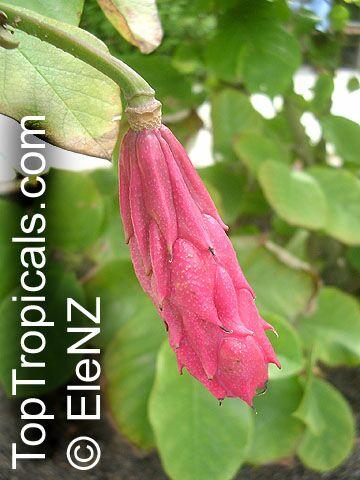 Magnolia Sieboldii Oyama Magnolia Toptropicalscom
