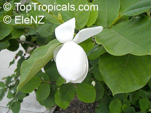 magnolia sieboldii oyama magnolia. Black Bedroom Furniture Sets. Home Design Ideas