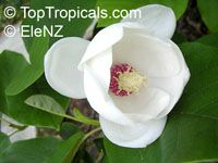 Magnolia sieboldii, Oyama magnolia  Click to see full-size image