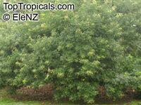 Majidea zanquebarica, Harpullia zanquebarica, Black Pearl, Velvet-seed Tree, Mgambo Tree  Click to see full-size image