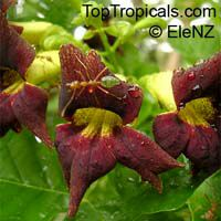 Markhamia zanzibarica - Bell Bean Tree (Red Flower)  Click to see full-size image