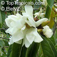 Magnolia doltsopa, Michelia excelsa, Magnolia exelsa, Sweet Michelia  Click to see full-size image
