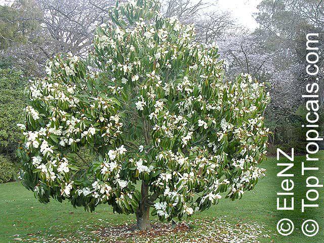 Magnolia Doltsopa Michelia Excelsa Magnolia Exelsa