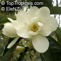 Magnolia doltsopa (Michelia excelsa) - seeds