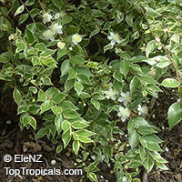 Myrtus communis, True Myrtle