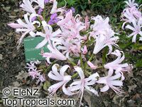 Nerine sp., Jersey Lily,Guernsey Lily, Spider Lily  Click to see full-size image