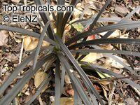 Ophiopogon planiscapus, Black Mondo grass, Black Lilyturf, SnakebeardClick to see full-size image