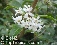 Osmanthus delavayi, Delavay Osmanthus, Delavay Tea OliveClick to see full-size image