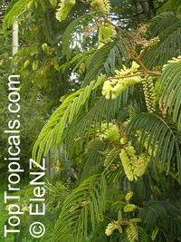 Paraserianthes lophantha, Albizia lophantha, Cape Leeuwin Wattle, Crested Wattle  Click to see full-size image