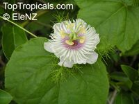 Passiflora foetida, Wild Maracuja, Love-in-a-mist, Sneki Markusa, Stinking Passion Flower, Tagua Passion Flower, Granadilla colorada, Pop Vine  Click to see full-size image