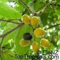 Polyalthia australis, Polyalthia  Click to see full-size image