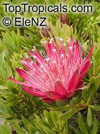 Protea sp., Sugarbush  Click to see full-size image