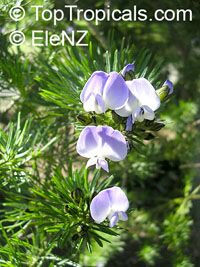 Psoralea fleta - seeds  Click to see full-size image