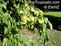 Pterocarpus indicus, Narra  Click to see full-size image
