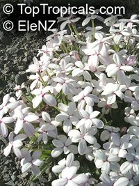 Rhodohypoxis baurii, Rose Grass  Click to see full-size image