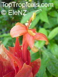 Ruellia colorata, Colorama  Click to see full-size image