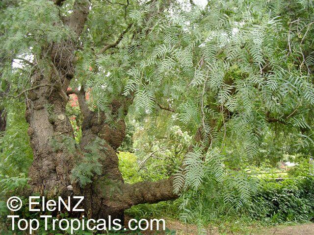Balsam of Peru allergy   DermNet New Zealand