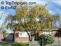 Sophora sp., Kowhai  Click to see full-size image