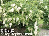 Sorbaria sorbifolia,Schizonotus sorbifolius, Spiraea sorbifolia, False Spiraea  Click to see full-size image