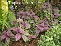 Strobilanthes dyerianus, Perilepta dyeriana, Persian Shield  Click to see full-size image
