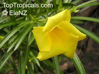 Thevetia thevetioides, Giant Thevetia, Large-flowered Yellow oleander  Click to see full-size image