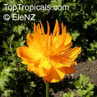 Trollius asiaticus, Asian Globe flower  Click to see full-size image