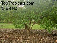 Voacanga africana , Wild Frangipani  Click to see full-size image