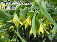 Uvularia grandiflora, Large-flowered Bellwort  Click to see full-size image