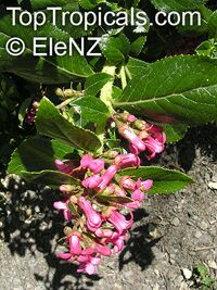 Weigela sp., Weigela  Click to see full-size image