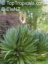 Yucca sp., Yucca, Adams Needle  Click to see full-size image