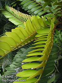 Zamia furfuracea - seeds