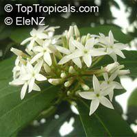 Acokanthera oblongifolia, Acokanthera spectabilis, Carissa spectabilis, Bushman's Poison, WintersweetClick to see full-size image