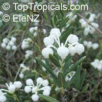 Andromeda polifolia, Bog Rosemary  Click to see full-size image