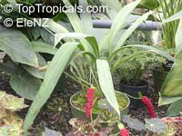 Anthurium bakeri, Anthurium  Click to see full-size image