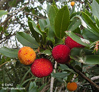 Arbutus unedo, Strawberry Tree  Click to see full-size image
