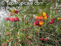 Arbutus unedo, Strawberry Tree