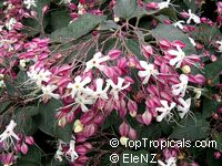 Clerodendrum trichotomum, Harlequin Glory, Clerodendron