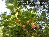 Enkianthus campanulatus, Redvein EnkianthusClick to see full-size image