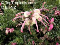 Grevillea lanigera Mt Tamboritha, Dwarf Grevillea  Click to see full-size image
