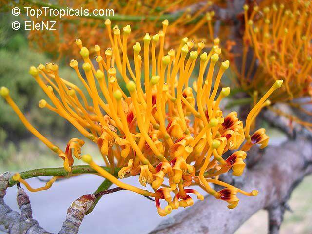 http://toptropicals.com/pics/garden/m1/EleNZ/grevillea_robusta1el.jpg