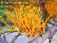Grevillea robusta - seeds