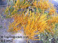 Grevillea robusta, Silky Oak  Click to see full-size image