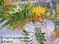 Grevillea robusta, Silky Oak