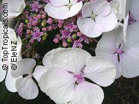 Hydrangea sp., HydrangeaClick to see full-size image