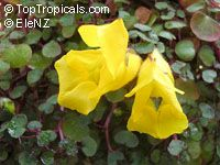Impatiens repens, Balsam, Busy Lizzie  Click to see full-size image