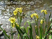 Iris Sp Beardless Irises Beardless Irises Water