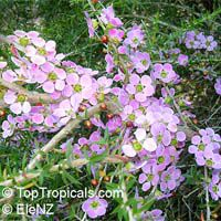 Leptospermum sp., New Zealand Tea Tree  Click to see full-size image