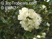 Luma apiculata, Eugenia apiculata, Luma, Chilean Myrtle  Click to see full-size image