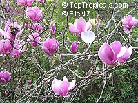 Magnolia sp., Magnolia hybrid  Click to see full-size image