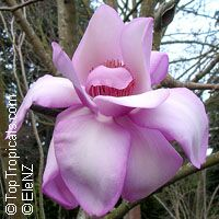 Magnolia campbellii - seeds